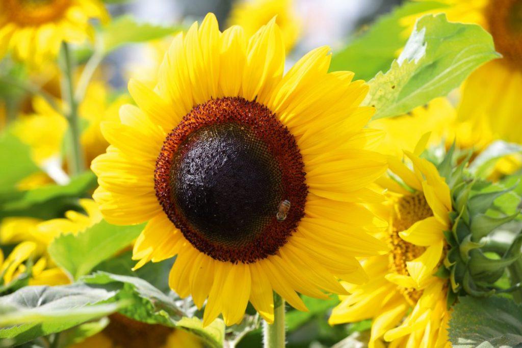 Cum-se-protejeaza-culturile-de-floarea-soarelui-1024x683.jpg